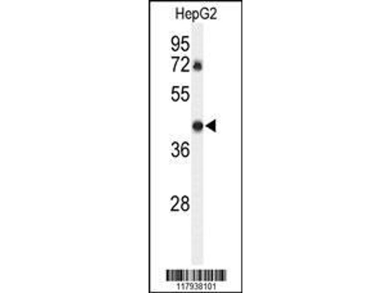 Western Blotting (WB) image for anti-DEAD (Asp-Glu-Ala-Asp) Box Polypeptide 39A (DDX39) (AA 250-277), (Center), (Tyr265) antibody (ABIN652341)