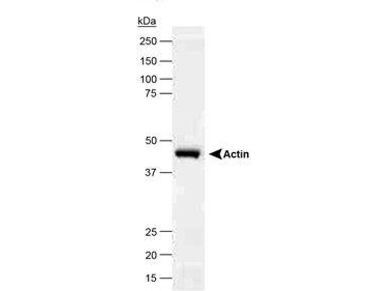 Western Blotting (WB) image for anti-beta Actin antibody (Actin, beta) (N-Term) (ABIN153388)