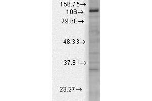 Image no. 1 for anti-Potassium Channel, Subfamily U, Member 1 (KCNU1) (AA 1052-1121) antibody (HRP) (ABIN2482878)
