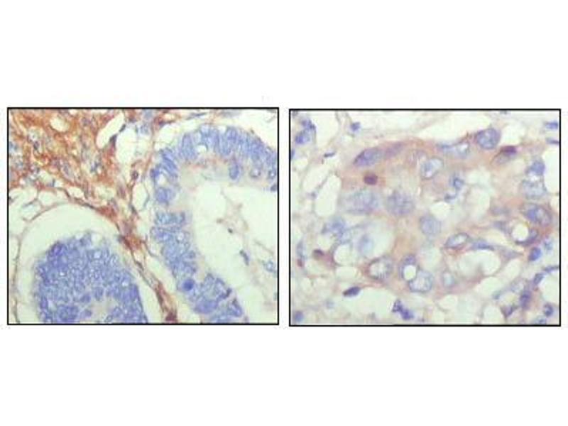 Immunohistochemistry (IHC) image for anti-Fibulin 5 antibody (FBLN5) (AA 242-448) (ABIN969131)