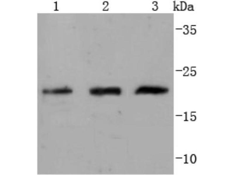 Western Blotting (WB) image for anti-Cell Division Cycle 42 (GTP Binding Protein, 25kDa) (CDC42) (C-Term) antibody (ABIN5950889)