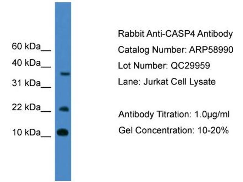 Western Blotting (WB) image for anti-Caspase 4, Apoptosis-Related Cysteine Peptidase (CASP4) (Middle Region) antibody (ABIN2787904)