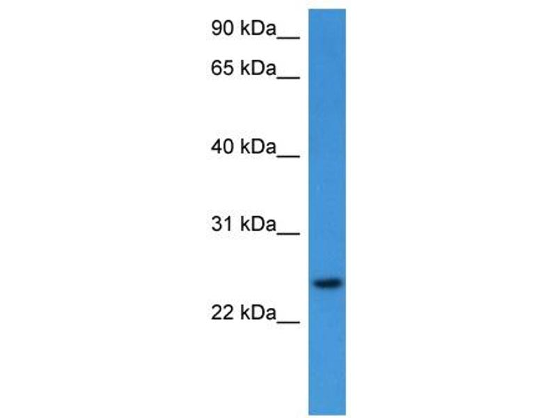Western Blotting (WB) image for anti-Ras Homolog Family Member G (RHOG) (C-Term) antibody (ABIN2788364)