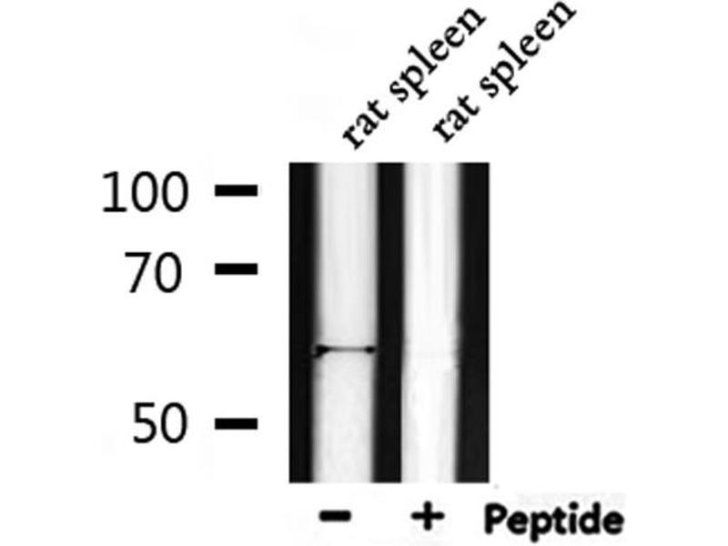 Image no. 4 for anti-V-Akt Murine Thymoma Viral Oncogene Homolog 1 (AKT1) (pThr450) antibody (ABIN6256564)