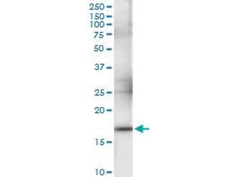 Immunoprecipitation (IP) image for anti-Interferon, alpha 1 (IFNA1) (AA 1-189), (full length) antibody (ABIN948014)