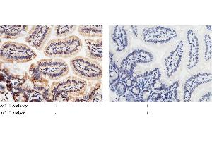 Image no. 2 for anti-Acetylcholinesterase (AChE) (AA 1-614) antibody (ABIN2001113)