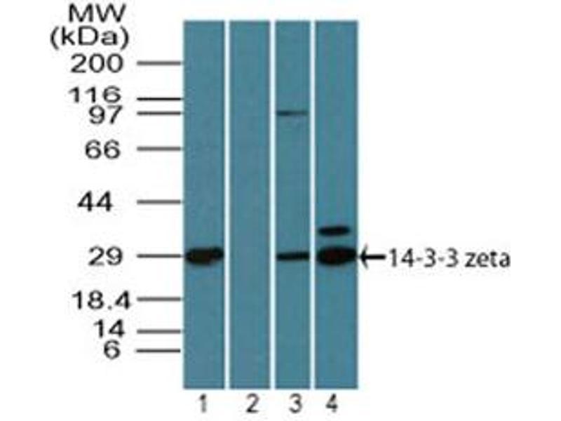 Image no. 2 for anti-tyrosine 3-Monooxygenase/tryptophan 5-Monooxygenase Activation Protein, zeta Polypeptide (YWHAZ) (AA 50-100) antibody (ABIN960408)