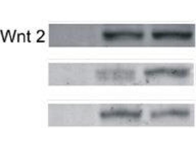 Western Blotting (WB) image for anti-WNT2 抗体 (Wingless-Type MMTV Integration Site Family Member 2) (AA 240-290) (ABIN762896)
