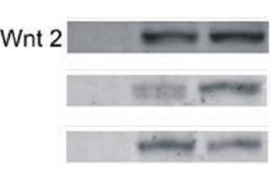Western Blotting (WB) image for anti-WNT2 antibody (Wingless-Type MMTV Integration Site Family Member 2) (AA 240-290) (ABIN762896)