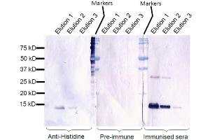 Image no. 1 for anti-Solute Carrier Family 39 (Zinc Transporter), Member 7 (SLC39A7) antibody (ABIN249337)