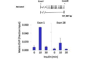Immunoprecipitation (IP) image for anti-Nuclear Factor of Activated T-Cells, Cytoplasmic, Calcineurin-Dependent 2 (NFAT1) antibody (ABIN152663)