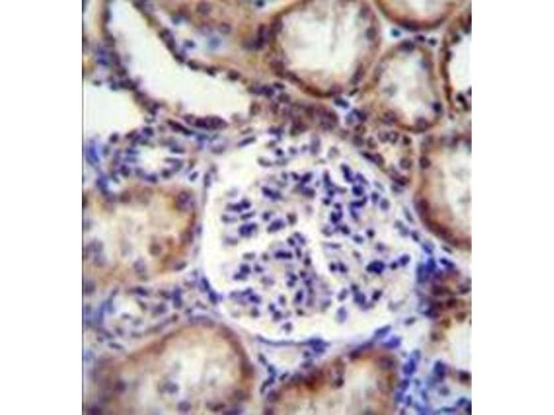 Immunohistochemistry (Paraffin-embedded Sections) (IHC (p)) image for anti-Ephrin B2 antibody (EFNB2) (AA 164-194) (ABIN952093)