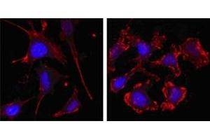 Immunofluorescence (IF) image for anti-Actin, beta (ACTB) antibody (ABIN1105239)