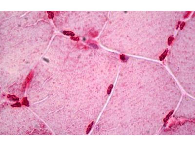Immunohistochemistry (IHC) image for anti-Clock Homolog (Mouse) (CLOCK) antibody (ABIN962571)
