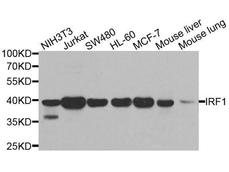 Western Blotting (WB) image for anti-Interferon Regulatory Factor 1 (IRF1) antibody (ABIN6142526)