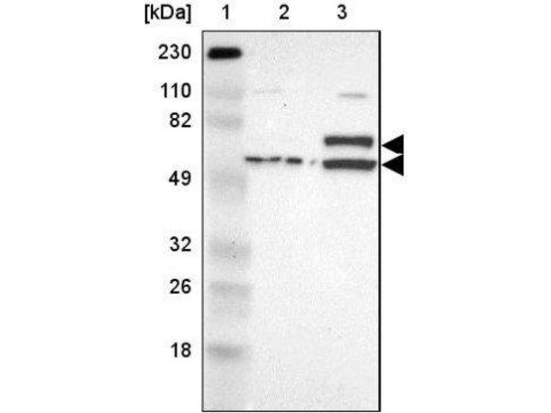 Western Blotting (WB) image for anti-Influenza Virus NS1A Binding Protein (IVNS1ABP) antibody (ABIN4340709)