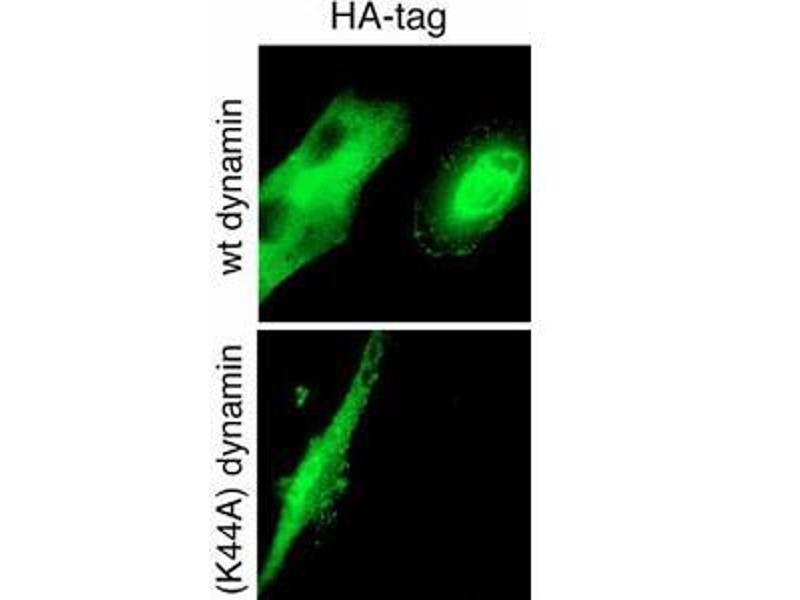 Immunohistochemistry (IHC) image for anti-HA-Tag antibody (ABIN387848)