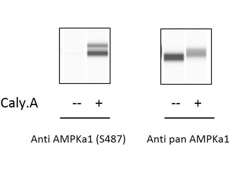 Image no. 3 for Protein Kinase, AMP-Activated, alpha 1 Catalytic Subunit (PRKAA1) ELISA Kit (ABIN5526721)