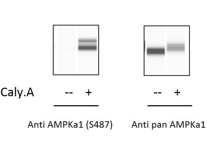 Protein Kinase, AMP-Activated, alpha 1 Catalytic Subunit (PRKAA1) ELISA Kit (3)