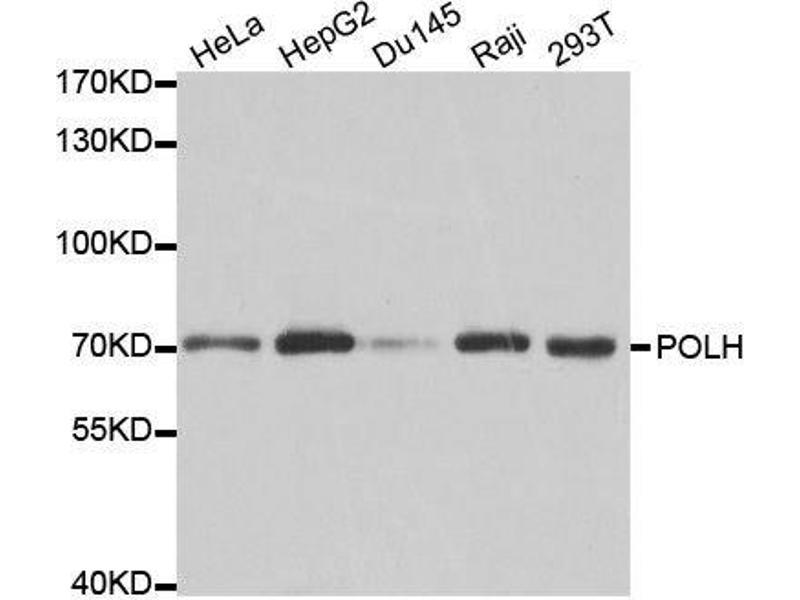 Western Blotting (WB) image for anti-Polymerase (DNA Directed), eta (POLH) antibody (ABIN3022621)