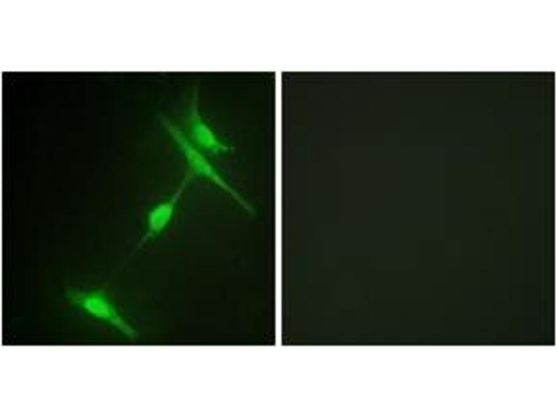 Immunofluorescence (IF) image for anti-Mitogen-Activated Protein Kinase 8 Interacting Protein 1 (MAPK8IP1) (AA 69-118) antibody (ABIN1532633)