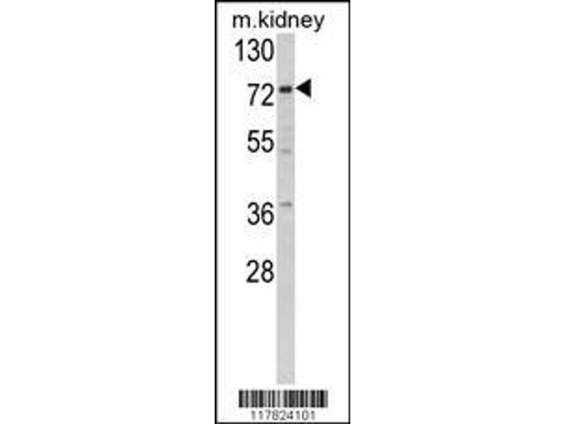 Western Blotting (WB) image for anti-Villin 1 (VIL1) (AA 180-207), (N-Term) antibody (ABIN390742)