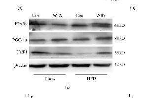 Image no. 2 for anti-Uncoupling Protein 1 (Mitochondrial, Proton Carrier) (UCP1) (AA 101-200) antibody (ABIN675413)
