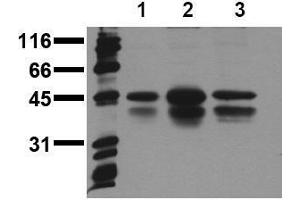 Western Blotting (WB) image for anti-CREB1 antibody (CAMP Responsive Element Binding Protein 1) (pSer133) (ABIN126754)