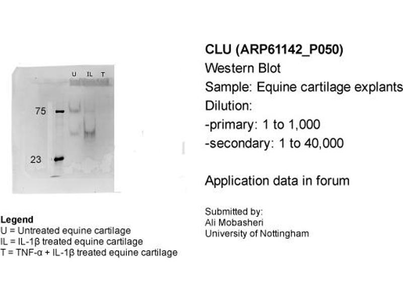 Western Blotting (WB) image for anti-Clusterin (CLU) (C-Term) antibody (ABIN2788692)
