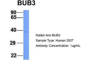 Image no. 1 for anti-Budding Uninhibited By Benzimidazoles 3 Homolog (Yeast) (BUB3) (N-Term) antibody (ABIN2787758)