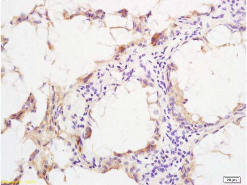Immunohistochemistry (IHC) image for anti-SHC (Src Homology 2 Domain Containing) Transforming Protein 1 (SHC1) (AA 25-60), (pSer36) antibody (ABIN745913)