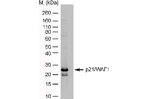 Image no. 1 for anti-Cyclin-Dependent Kinase Inhibitor 1A (p21, Cip1) (CDKN1A) antibody (ABIN2475991)