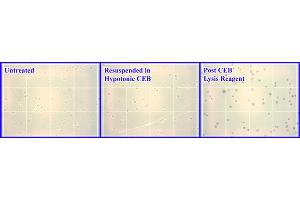Image no. 2 for Nuclear/Cytosolic Fractionation Kit (ABIN2344804)