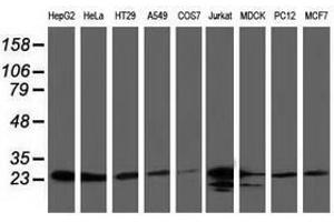 Image no. 2 for anti-ClpP Caseinolytic Peptidase, ATP-Dependent, Proteolytic Subunit Homolog (E. Coli) (CLPP) antibody (ABIN1497535)