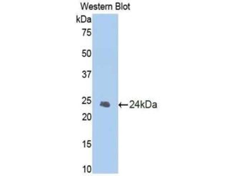 Western Blotting (WB) image for anti-Caspase 1 (CASP1) (AA 119-296) antibody (ABIN2902446)