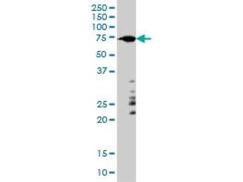 Western Blotting (WB) image for anti-ARAF antibody (V-Raf Murine Sarcoma 3611 Viral Oncogene Homolog) (AA 151-250) (ABIN559917)