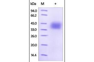 Image no. 1 for CD274 Molecule (CD274) (AA 19-238) (Active) protein (Strep Tag) (ABIN6810006)