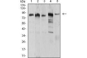 Image no. 5 for anti-Ubiquitin-Like, Containing PHD and RING Finger Domains, 1 (UHRF1) (AA 616-755) antibody (ABIN5542544)