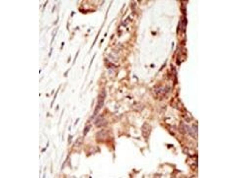 Image no. 2 for anti-PR Domain Containing 14 (PRDM14) (N-Term) antibody (ABIN356723)