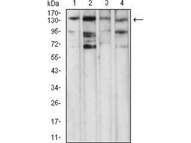 Western Blotting (WB) image for anti-phospholipase C, gamma 1 (PLCG1) (AA 1192-1291) antibody (ABIN5542681)