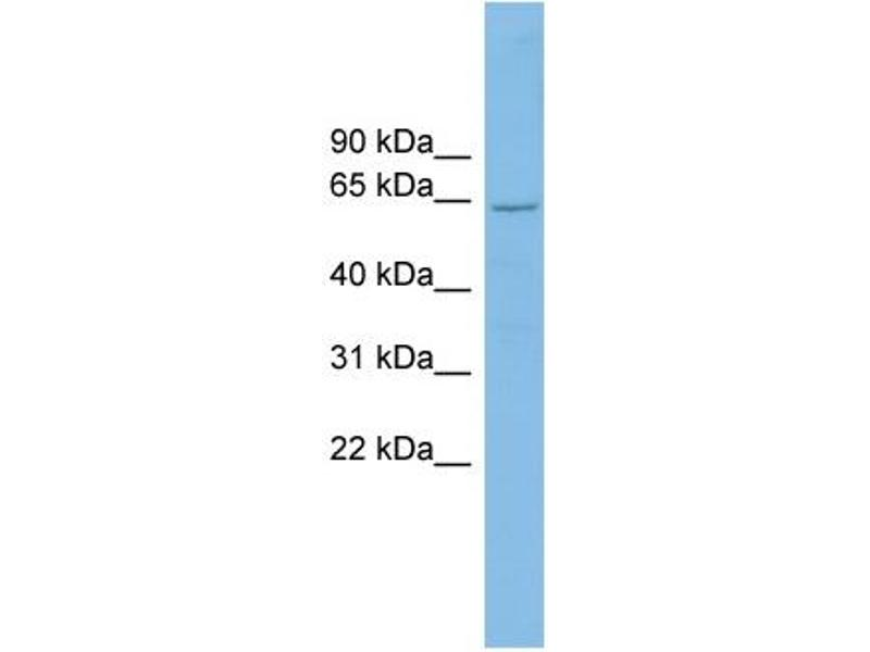 Western Blotting (WB) image for anti-Cryptochrome 2 (Photolyase-Like) (CRY2) (N-Term) antibody (ABIN2784909)