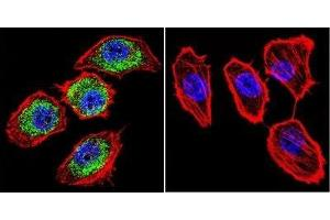 Immunofluorescence (IF) image for anti-Aryl Hydrocarbon Receptor Nuclear Translocator (ARNT) antibody (ABIN152684)