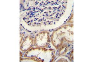 Image no. 1 for anti-HtrA Serine Peptidase 1 (HTRA1) (AA 116-147), (N-Term) antibody (ABIN5532914)
