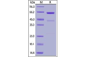 Image no. 2 for 5'-Nucleotidase, Ecto (CD73) (NT5E) (AA 27-549) (Active) protein (His tag,AVI tag,Biotin) (ABIN6810044)