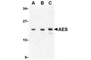 Western Blotting (WB) image for anti-Amino-terminal Enhancer of Split (AES) (C-Term) antibody (ABIN2477291)
