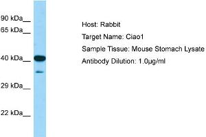 Image no. 1 for anti-Cytosolic Iron-Sulfur Protein Assembly 1 (CIAO1) (N-Term) antibody (ABIN2780620)