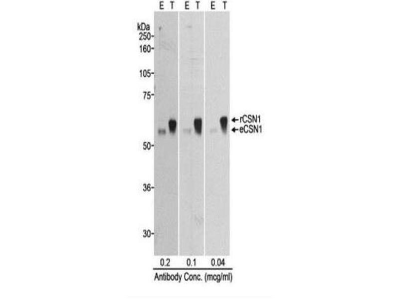 Western Blotting (WB) image for anti-G Protein Pathway Suppressor 1 (GPS1) (C-Term) antibody (ABIN151826)