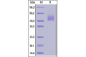 Image no. 2 for Inducible T-Cell Co-Stimulator Ligand (ICOSLG) (AA 47-279) (Active) protein (His tag) (ABIN6938858)
