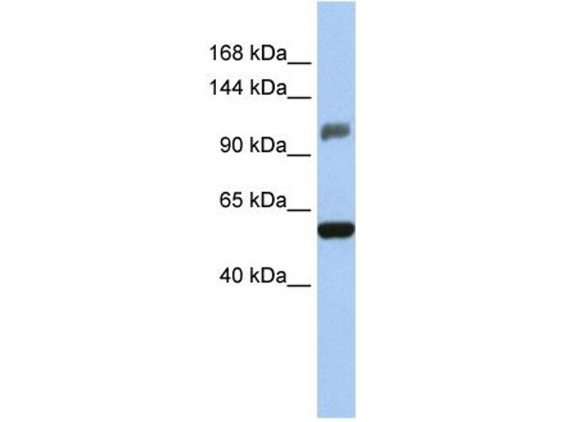 Western Blotting (WB) image for anti-Zinc Finger and SCAN Domain Containing 20 (ZSCAN20) (Middle Region) antibody (ABIN309697)