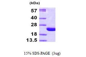 Image no. 1 for ADP-Ribosylation Factor 6 (ARF6) (AA 1-175) protein (His tag) (ABIN667279)